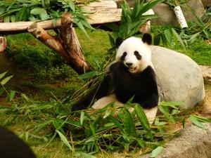 Giant Panda in Ocean Park, Hong Kong