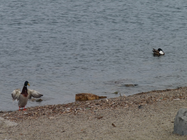 Ducks in and getting out of the cold water