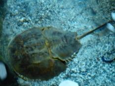 Live Horsehorse Crab