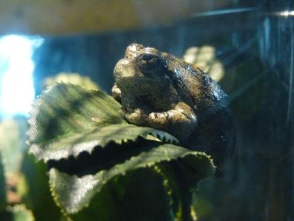 Gray Tree Frog