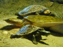 Middle is: Eastern Spiny Softshell Turtle