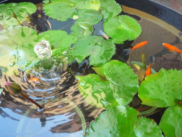 In the background of the water lilies, we have colorful fishes swimming around!