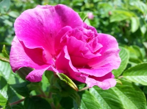 Missing the sunny weather last week which let my wild roses (?) bloom :)