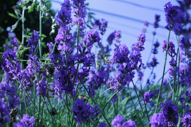 Lavender are a darker shade of purple! So beautiful and smells wonderful! :)