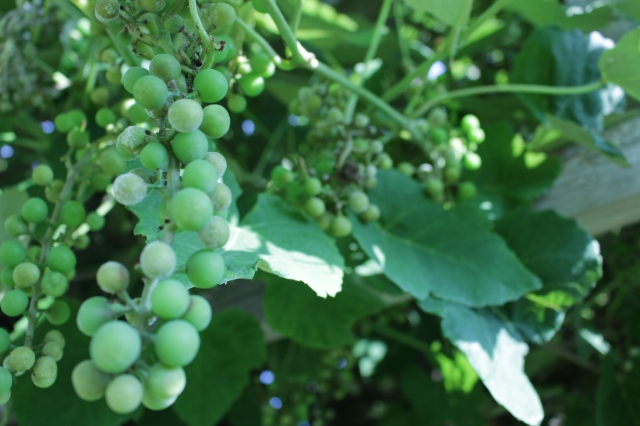 Grape vine!