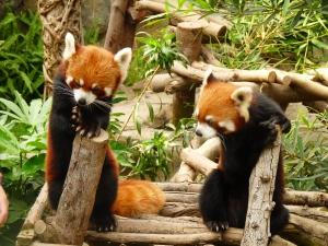 Red Pandas in Ocean Park :)