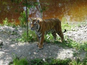 tiger at st-felicien zoo