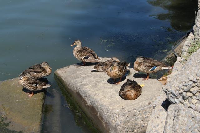 Ducks sunbathing!
