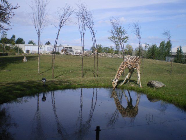 Two animals, giraffe and heron drinking from the watering hole at the zoo