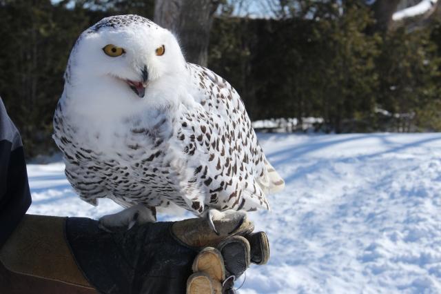 Granby Zoo Snowy Owl