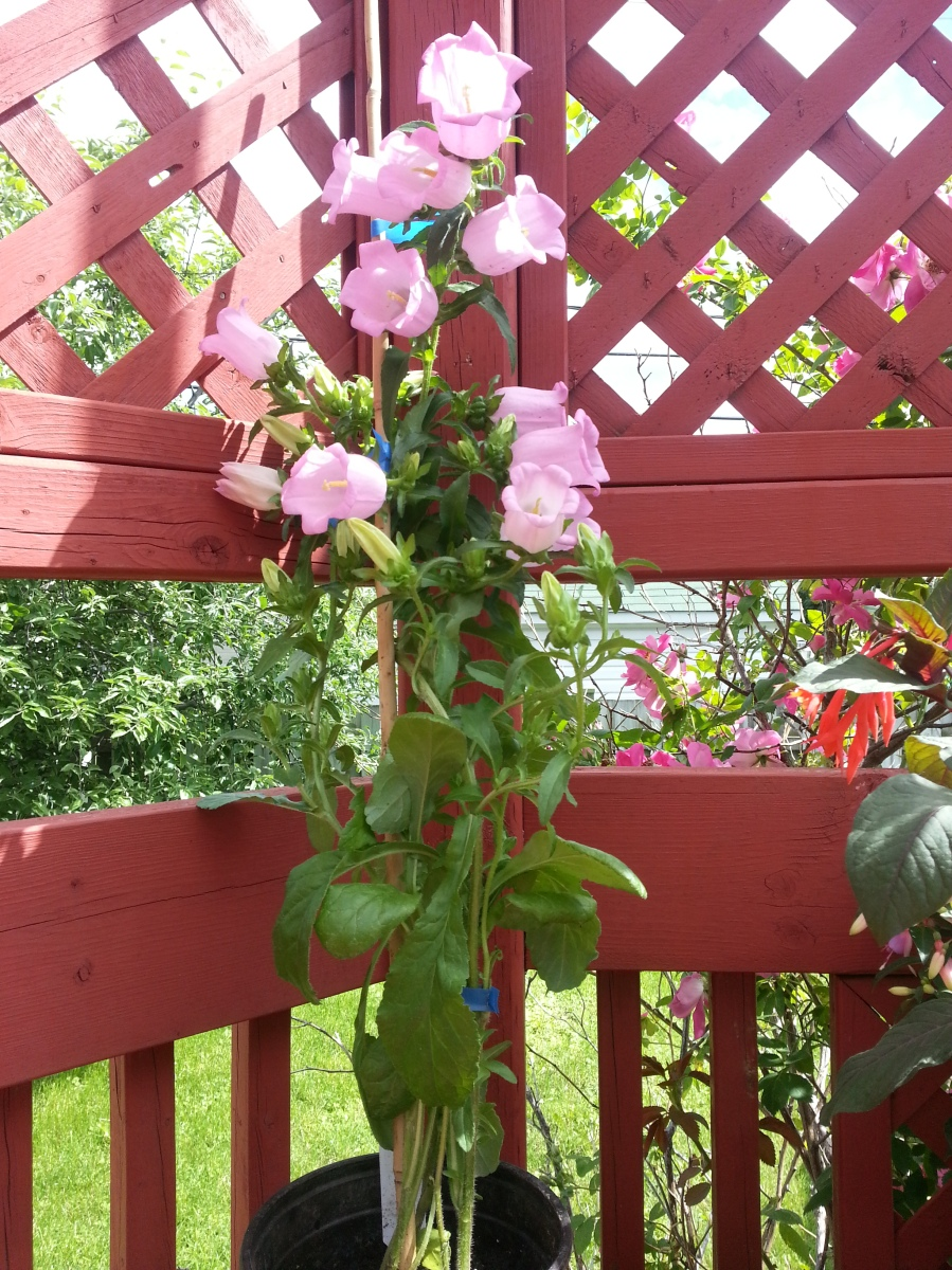 Canterbury Bell Roses