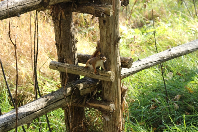 squirrel and fence