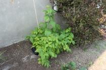Raspberry Plant