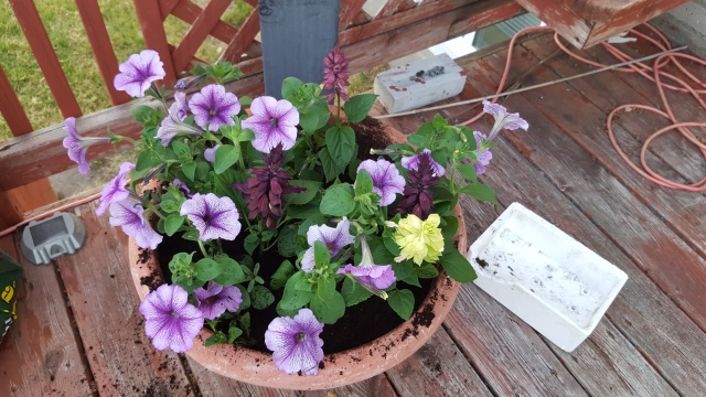 Petunias and Salvia Container