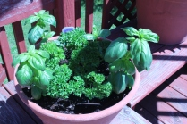 Herbs: Basil & Curled Parsley