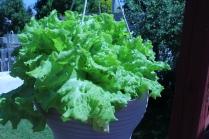 Lettuce #1