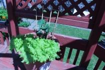 Lettuce & Cucumber