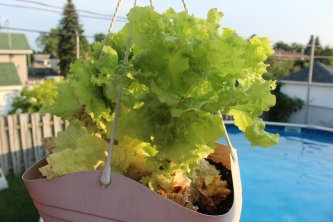 Lettuce #2