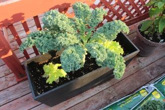 Kale & Lettuce